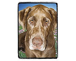 Very Super Cool Card #3209 Chocolate Labrador