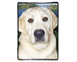 Very Super Cool Card #3711 Labrador Yellow